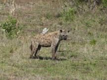 Hyäne Kruger