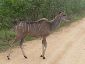 Kudu Kruger