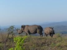 Nashorn Kruger