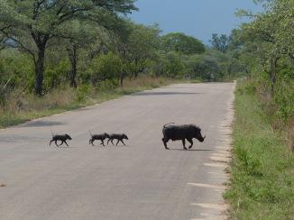Warzenschwein und Babys Kruger
